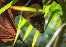 Flying Fox in Palm Fronds by tuftedpuffin