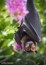 Flying Fox and Crepe Myrtle by tuftedpuffin