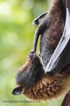 Ron Jeremy the Flying Fox by tuftedpuffin
