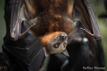 Little Red Flying Fox by tuftedpuffin