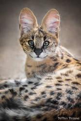 Serval Kitten by tuftedpuffin