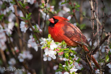 Cardinal In Cherry Blossoms by tuftedpuffin