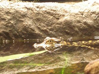 Baby Alligator by Archanubis