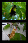 Lophocampe macule by NatureDuQuebec