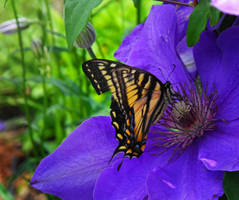 Papillon tigre du Canada by NatureDuQuebec