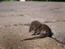 musaraigne pygmee by NatureDuQuebec