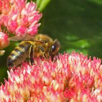 Abeille a miel by NatureDuQuebec