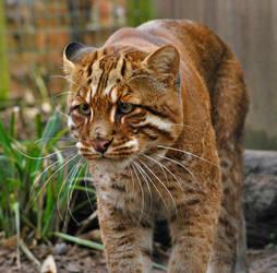 Golden Cat. by quaddie