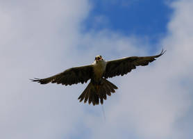 Lanner Falcon 9. by quaddie