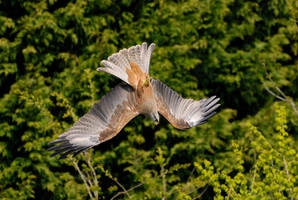 Black kite swerve. by quaddie