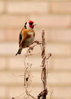 Goldfinch by quaddie