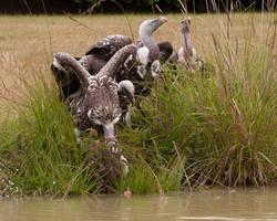 Bobbing for chicks. by quaddie