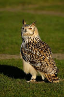 Sunlit Eagle Owl. by quaddie