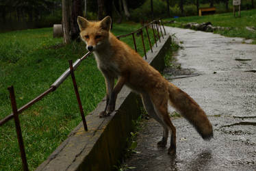 Foxes in rainy day pt8 by lycanthrope1021