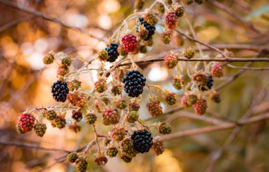 Blackberries in July by silverlight-studio