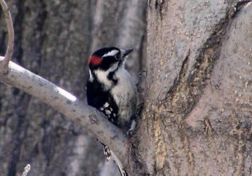 Downy Woodpecker by artoid