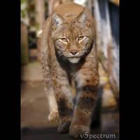 Animals 84 Eurasian Lynx by cinnabarr