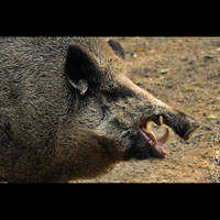 Animals 147 Wild boar by cinnabarr