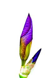 Iris by quintmckown
