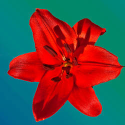 Red Lily by quintmckown