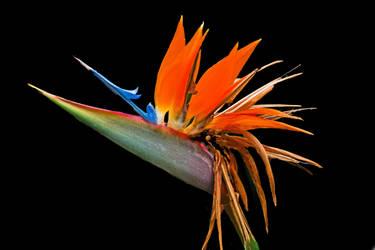 Strelitzia reginae or Bird of Paradise by quintmckown