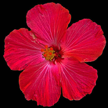 Hibiscus by quintmckown