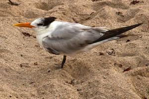 Royal Tern by quintmckown