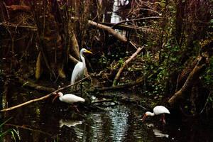 White birds, dark swamp by quintmckown