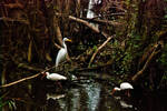 White birds, dark swamp by quintmckown