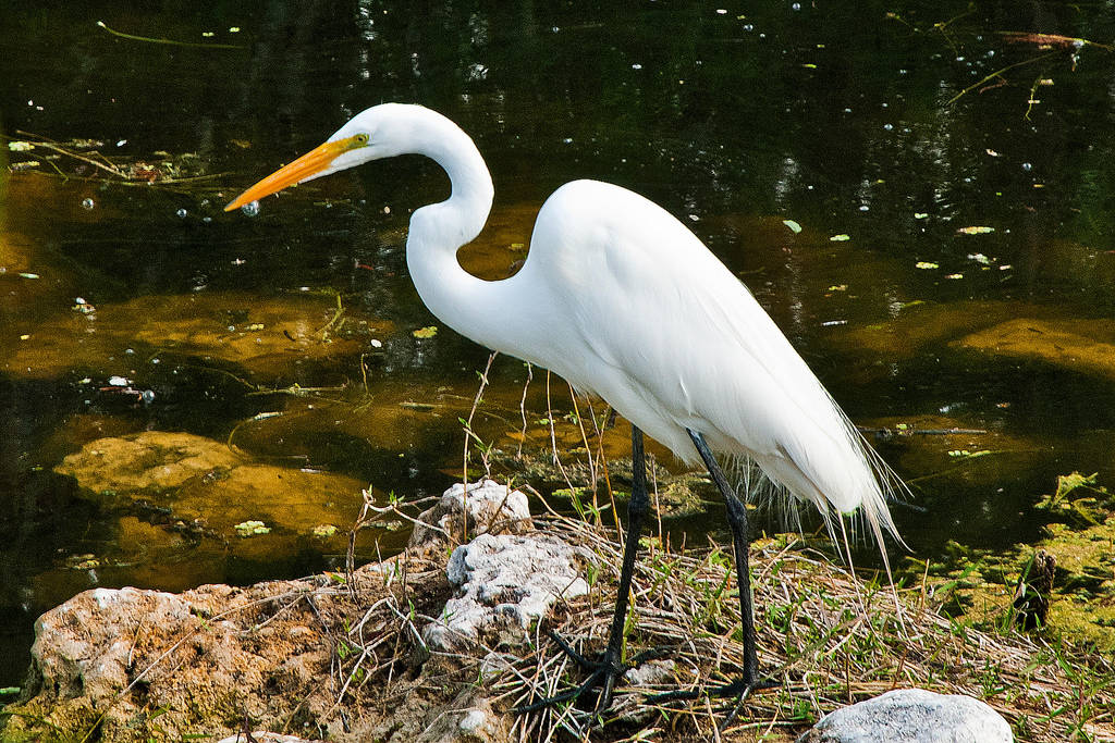 White Egret by quintmckown
