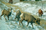 Rocky Mountain Bighorn Sheep by quintmckown