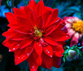 Fire red dahlia with bulb by quintmckown