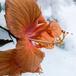Hibiscus in the Snow by quintmckown