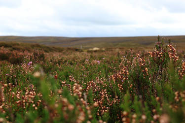 Lost in Heather by tinuvielluthien