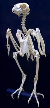 Owl Skeleton by Rhabwar-Troll-stock