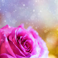 Snow Rose by xOronar