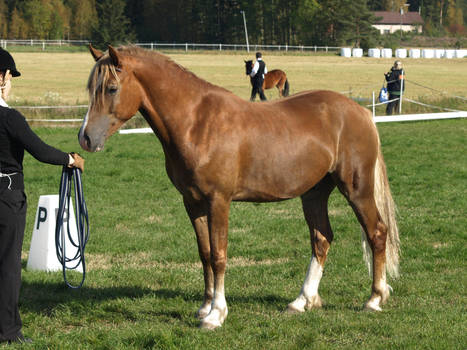 removed tack welsh cob by suuslovertje