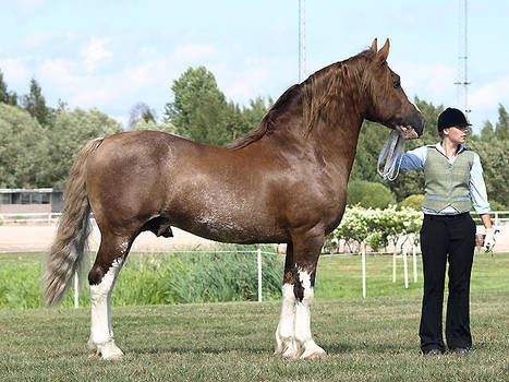 removed tack welsh cob stallion by suuslovertje