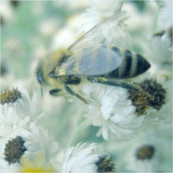 Bee by DorotejaC
