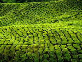 Cameron highlands, Malaysia by worldpitou