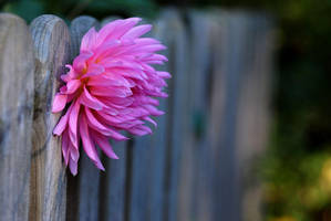 the last dahlia by augenweide