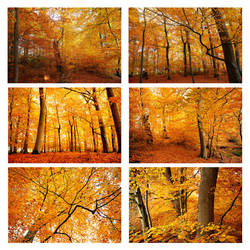 beechforest in autumn by augenweide
