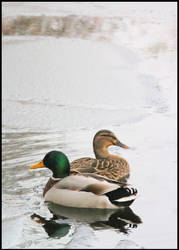 Quacks in the ice by SWAT-Strachan
