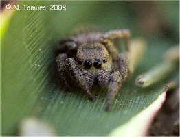 Jumping Spider IV by NTamura