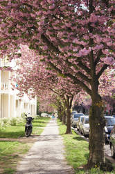 cherry blossom in town by Bumpler