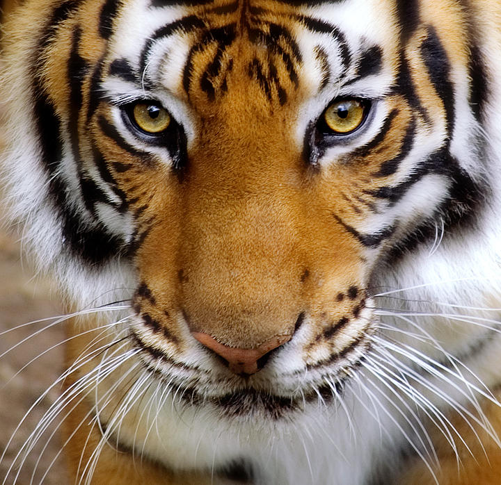 Tiger Close-up by justinblackphotos