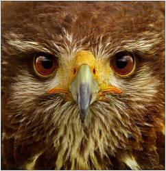 Hawk by justinblackphotos