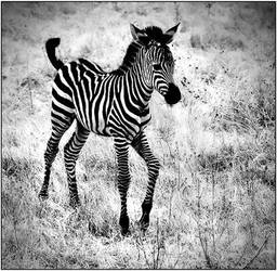 Baby Zebra by justinblackphotos