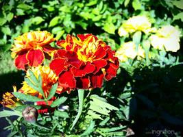 Orange flower - Spring 2011 by Ingnition