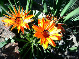 Amazing flower - Spring 2011 by Ingnition